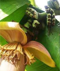 1-bananenplant